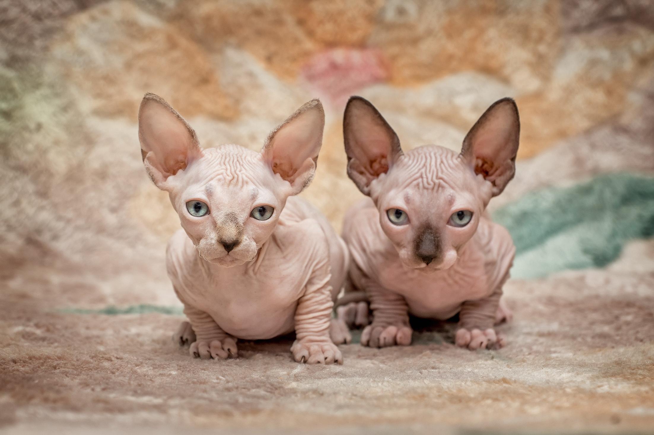 котята сфинксы саратов