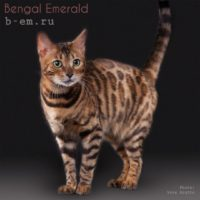 кошка бенгальской породы 2