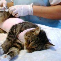koshka-posle-sterilizacii