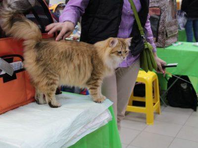 сибирячка кошка