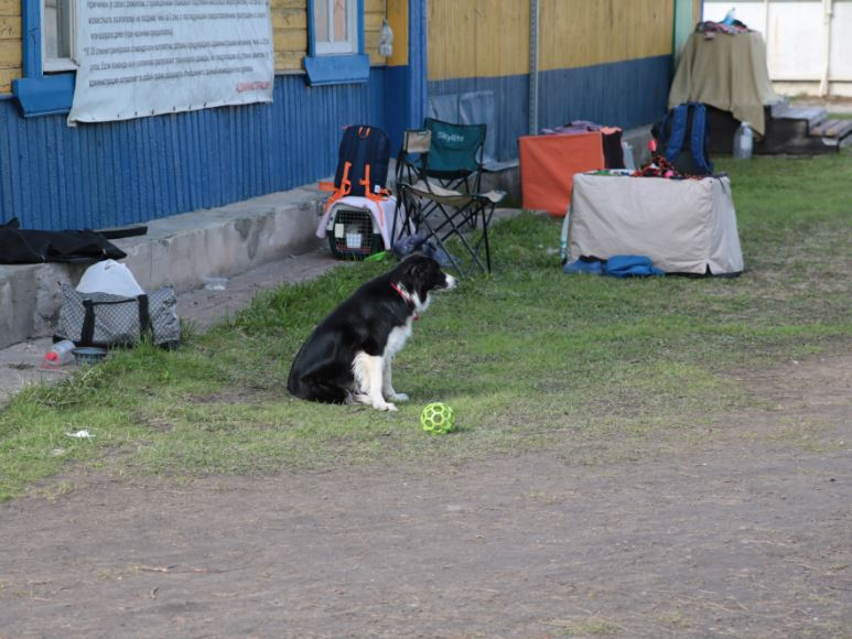 ожидающий пес
