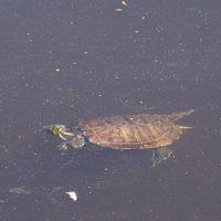 черепаха в Тьмаке мини