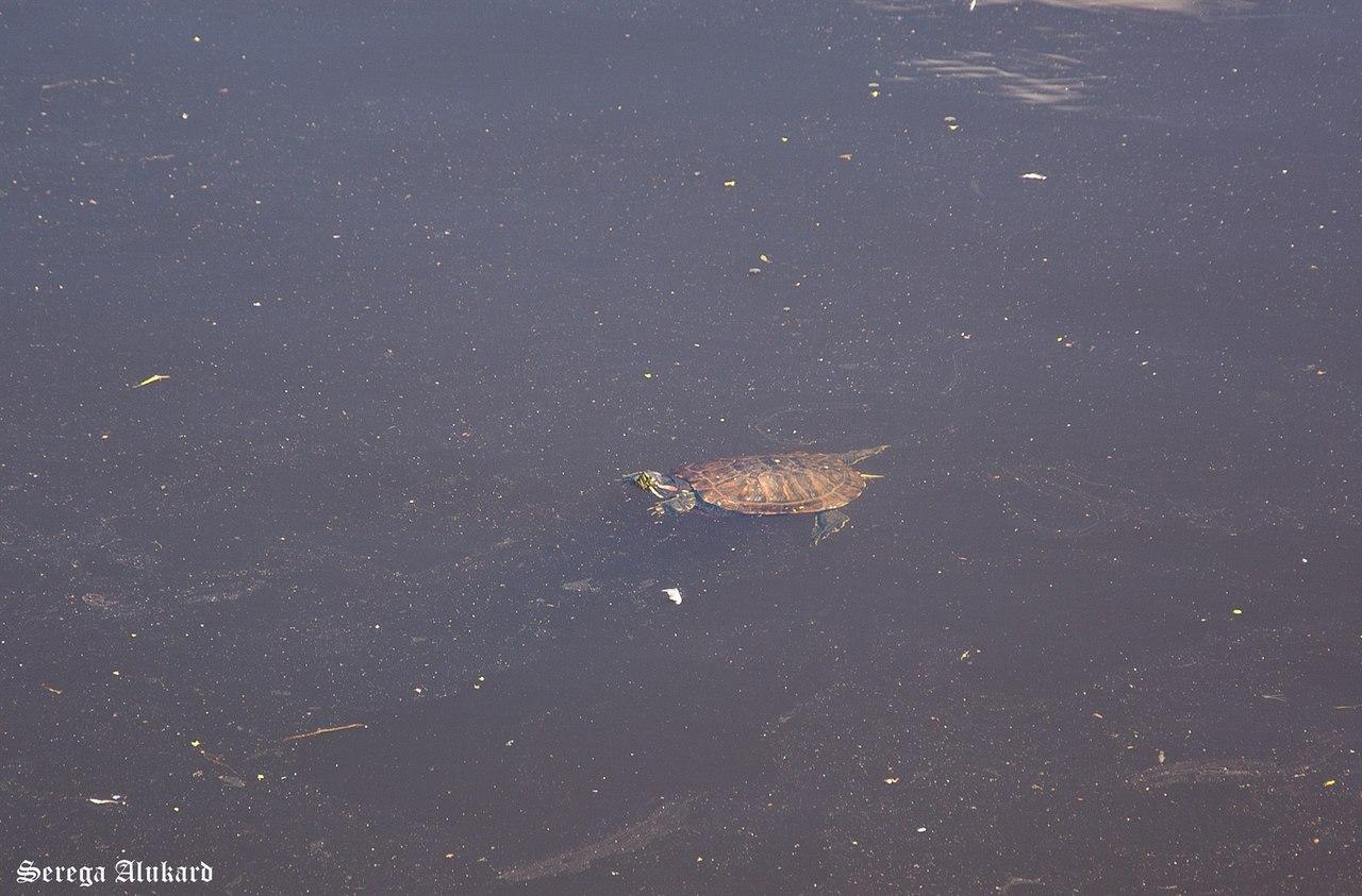черепаха в Тьмаке