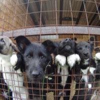 пойманные собачки