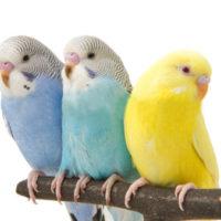 цвета волнистых попугаев