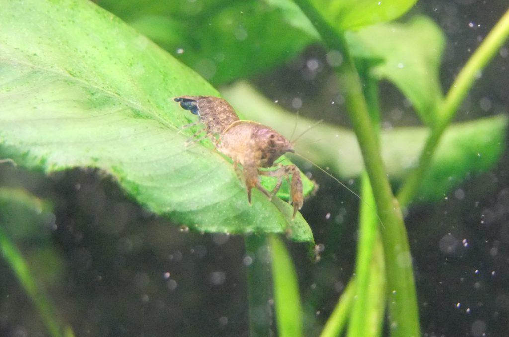 Болотный рак (Cambarellus puer)
