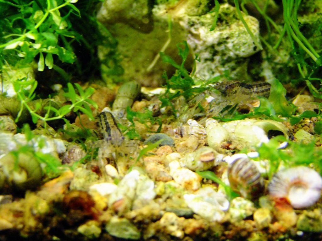 Cambarellus texanus5(раки исследуют территорию в поисках пищи)