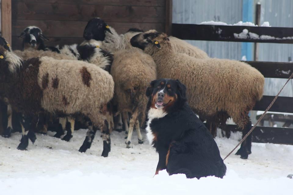 готово овец согнал