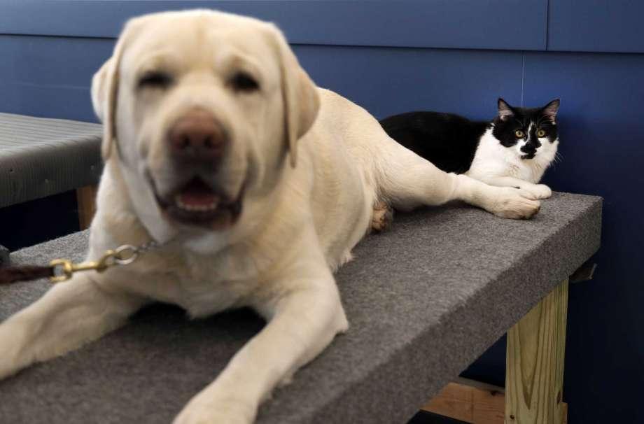кот тренирует собак