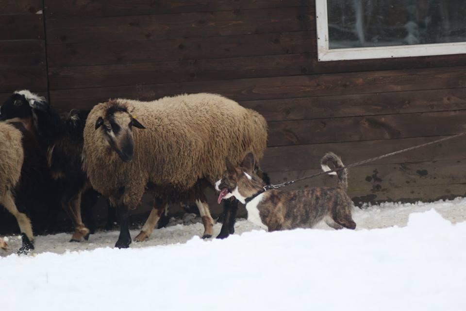 пес и овца