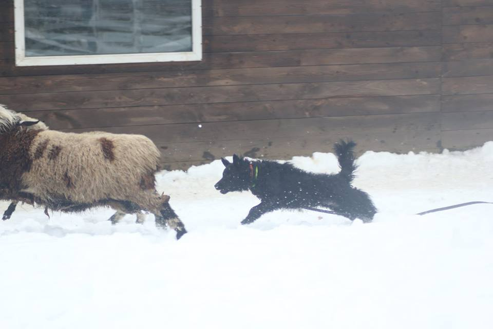 собака пастух 8