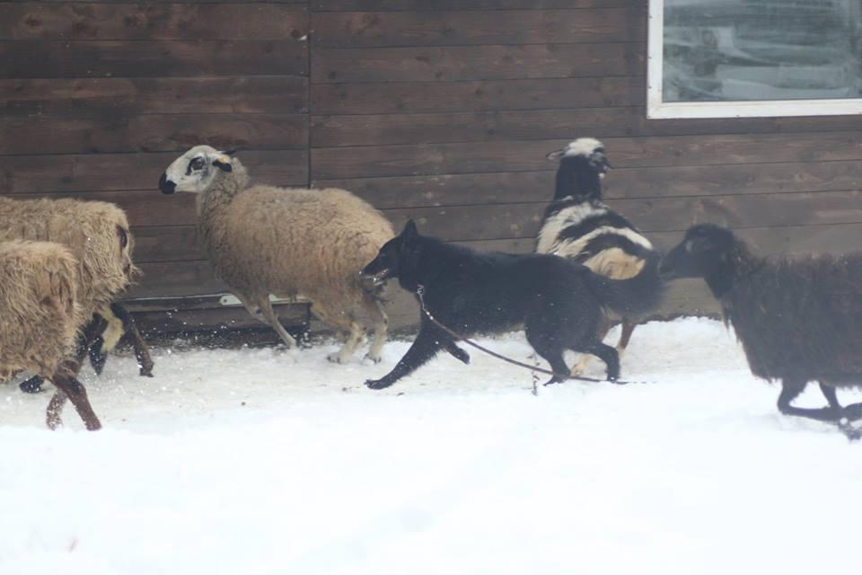 собака пасёт овец