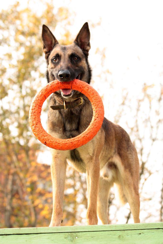 собака Тайпан