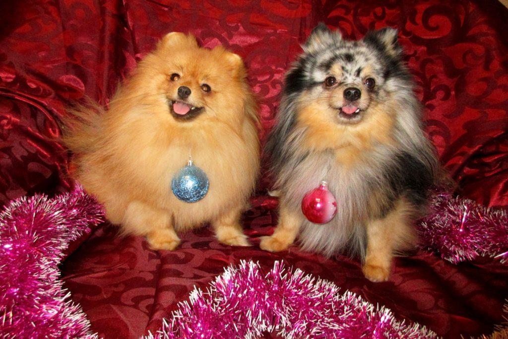 собаки шпицы от Гацуковой