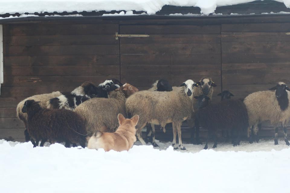 вельш корги и овцы 2