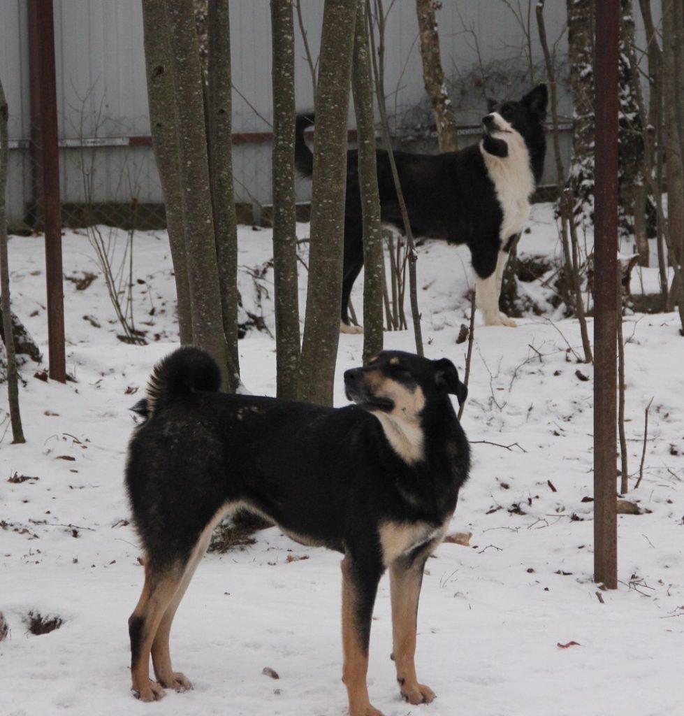 собаки Дворскова
