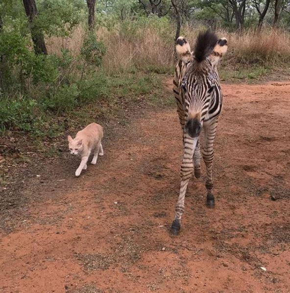 кошка и зебра