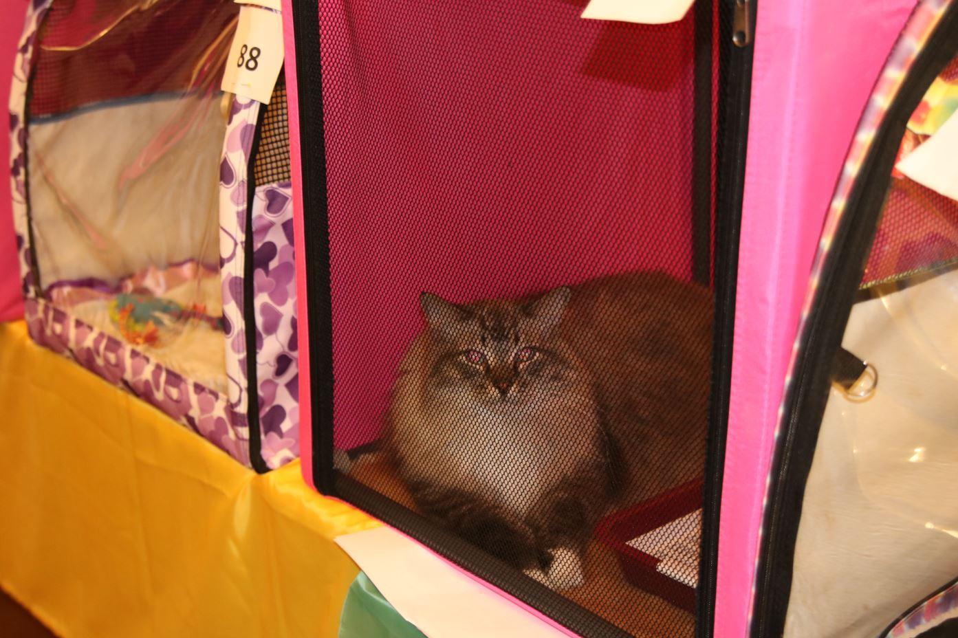 кот под вуалью