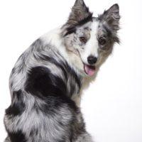 собака КВН 1