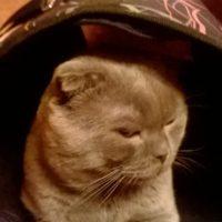 Британский кот пропал