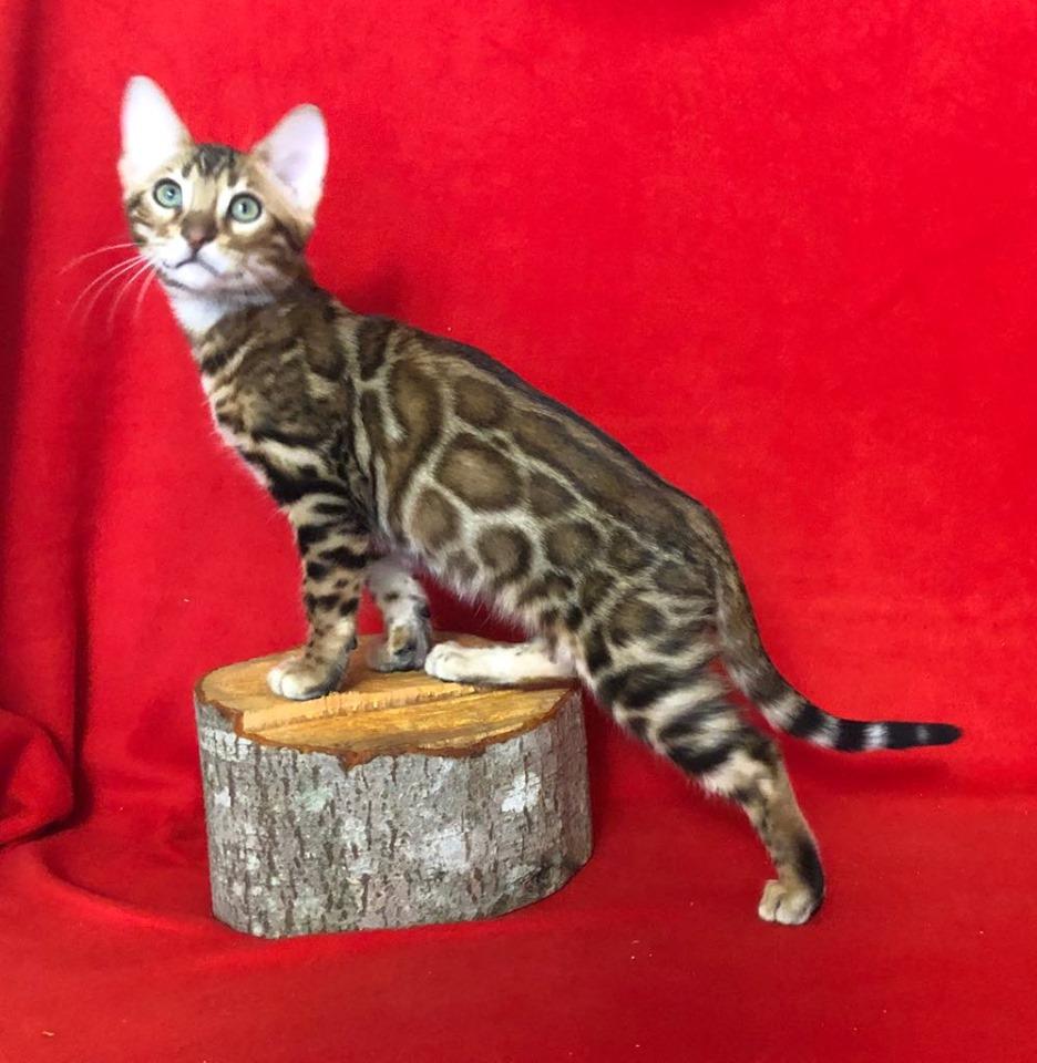 бенгальский котенок 1