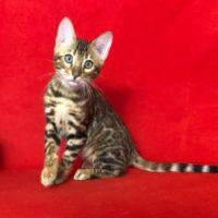 бенгальский котенок 3