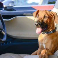 собака в автомобиле Тесла