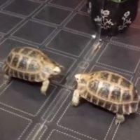 черепаха и зеркало