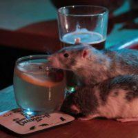 в США открыли крысобар
