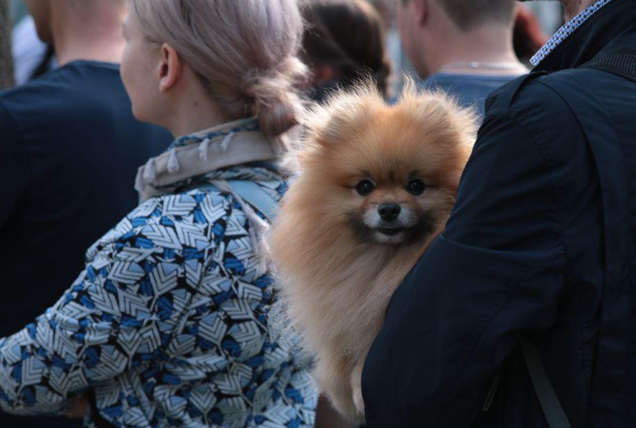парад собак шпиц
