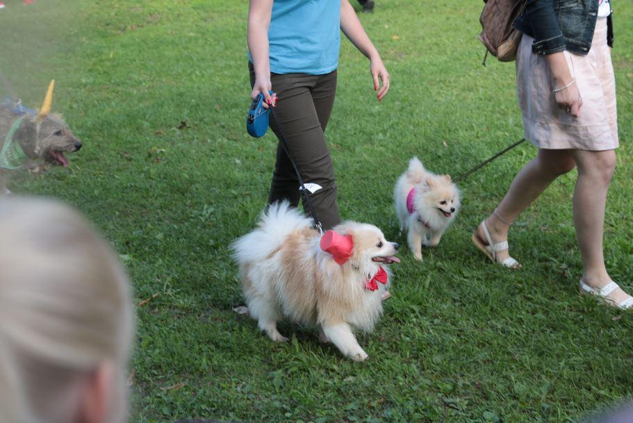 шпицы в шляпке ппрпд собак