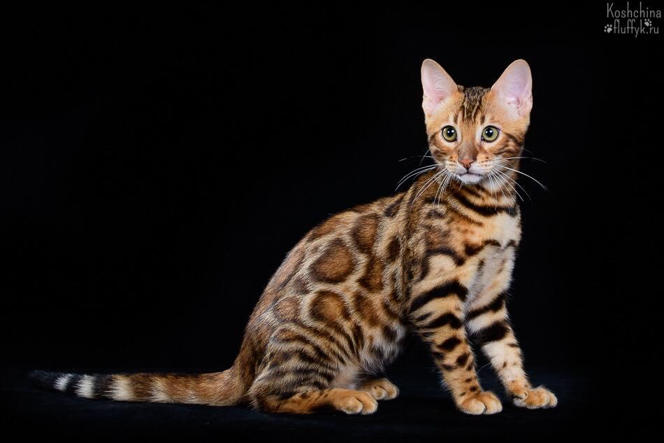 котенок бенгальской породы 1