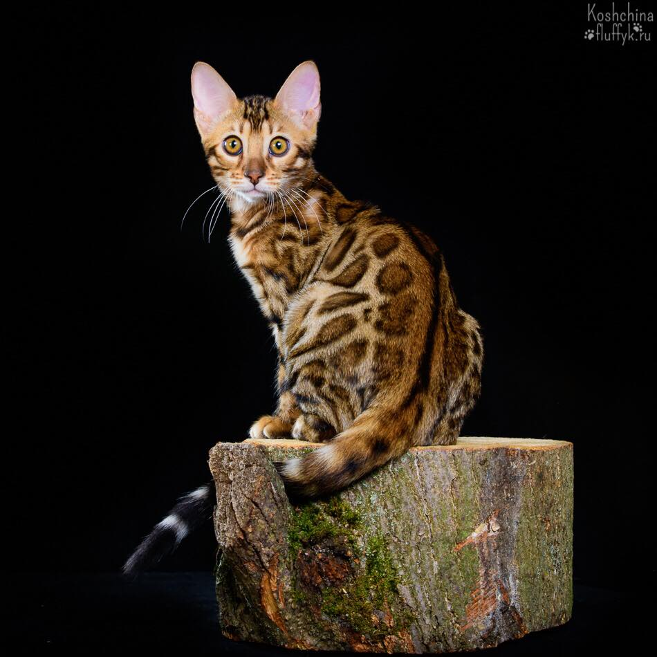 котенок бенгальской породы