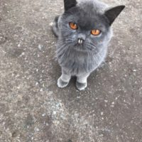 кот вампир