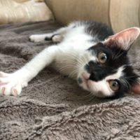 трехлапый котенок