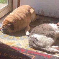 толстые собака с кошкой