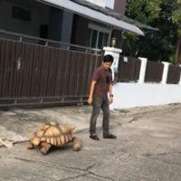 дрессированная черепаха