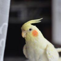 улетевший попугай корелла