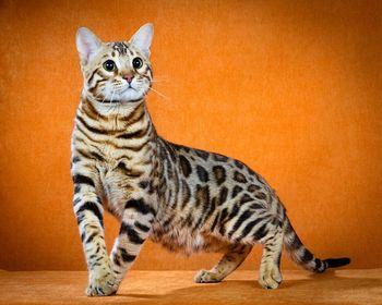 баннер бенгальский кот