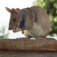крыса-сапер 2