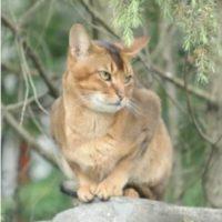 кот боня абиссинский