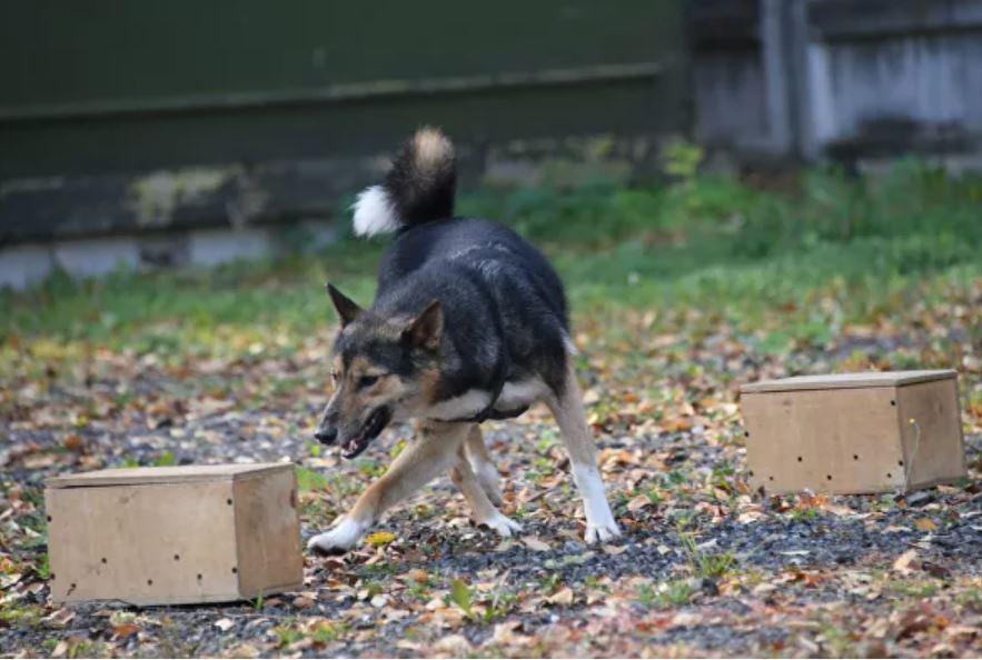 собаки шалайки коронавирус 1