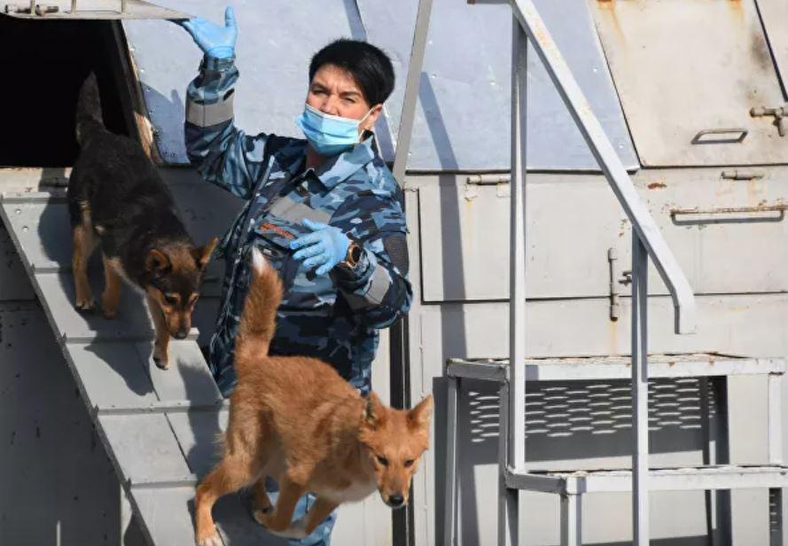 собаки шалайки коронавирус 3