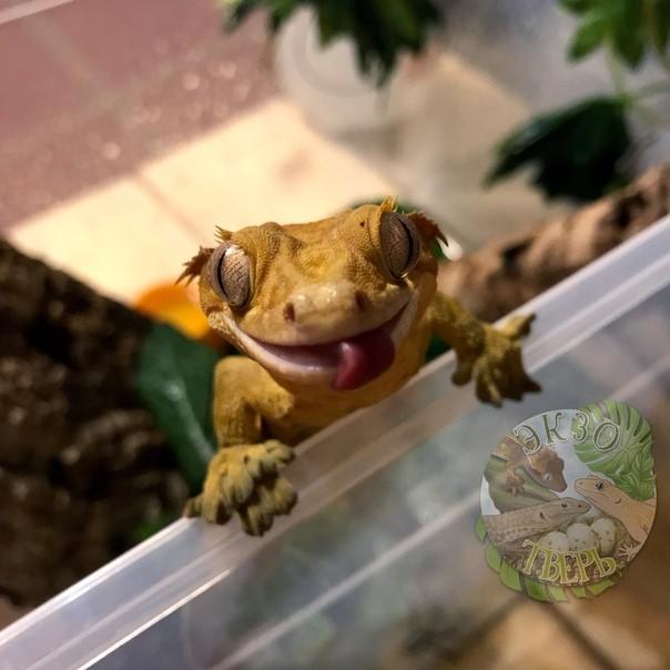 Бананоед геккон