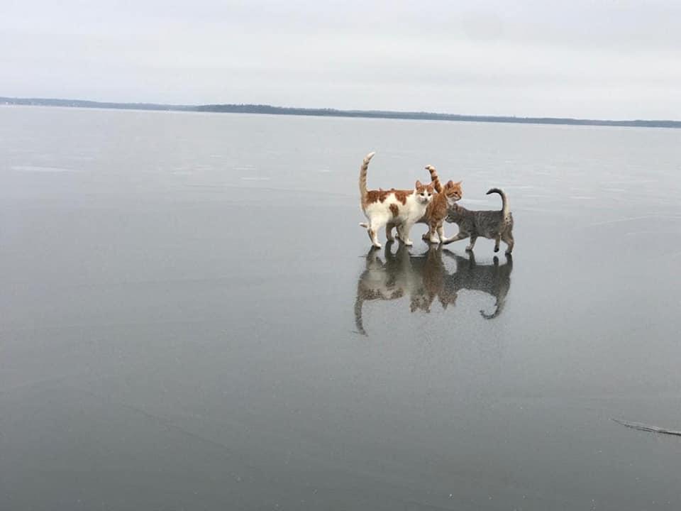 коты на льду 4