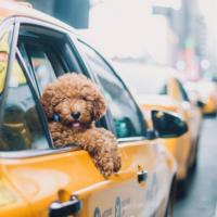собака в такси