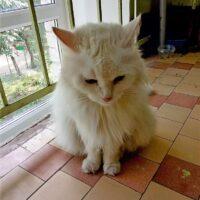 Белоснежная кошка 1
